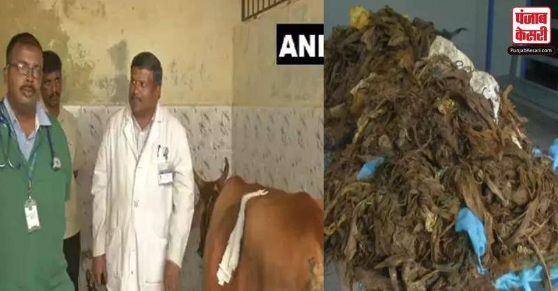 डॉक्टरों ने गाय के पेट से 52 किलो प्लास्टिक निकाला