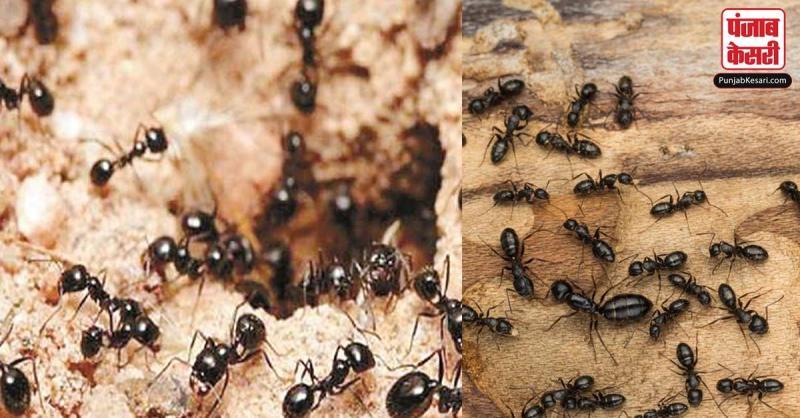बेहद शुभ माना जाता है घर में चींटियों का इस तरह निकलना, धन की होगी वर्षा