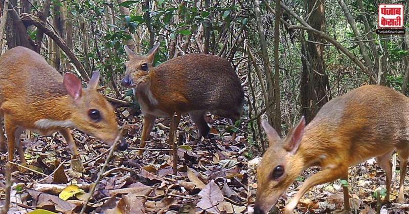 30 साल बाद एक बार फिर से दिखाई दी हिरण की ये  दुर्लभ प्रजाति,  दिखता है चूहे जैसा