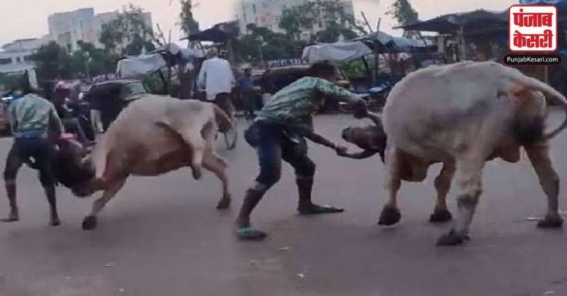 ये शख्स बना 'भल्लालदेव' बीच सड़क पर भारी भरकम सांड को इस तरह पटका