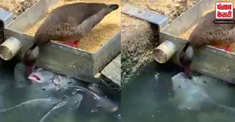 बतख ने अपनी चोंच में दाने दबाकर भूखी मछलियों को खिलाए,वायरल हुआ दोस्ती वाला ये वीडियो