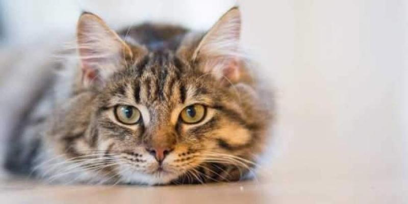 coronavirus vaccine cat