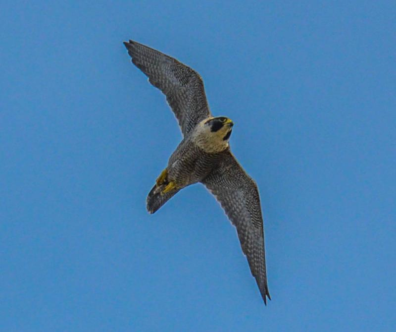 Why Does The Peregrine Falcon Risk Its Bullet Like Dives To Catch Prey