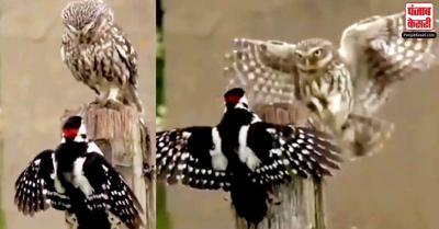 यूजर्स को उल्लू और चिड़िया का यह वीडियो देखकर  'बॉस' की याद आई