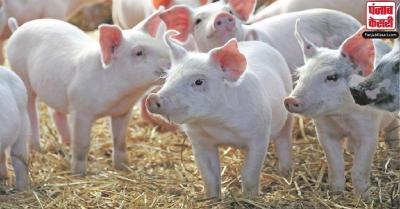 मिजोरम में बेकाबू 'अफ्रीकन स्वाइन फीवर', एक महीने में 1700 से अधिक सुअरों की मौत