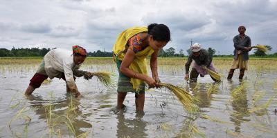 Women plant rice saplings at a paddy field in a village in Nagaon district of Assam, July 3, 2018. Photo: Reuters/Anuwar Hazarika