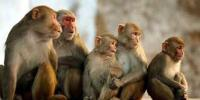 Man 'stoned to death by monkeys', family wants FIR against them