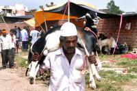 Rajasthan HC seeks govt's stand on sacrifice of goats on Eid