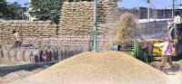 Large-scale paddy purchase is 'only on paper' in Punjab