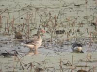 Thana wetland hosts fewer guests