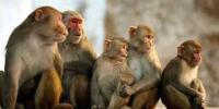 31 monkeys, 14 pigeons die in suspected gas leak in Maha