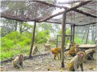 Efforts fail to contain man-monkey conflict