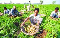 No liquidity, growers stuck with surplus crop