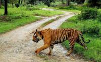 Royal Bengal Tiger caught on camera for the first time in Sikkim