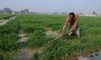 State running behind wheat sowing target