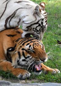 Sidhu's Royal gesture, adopts tigers at Chhatbir