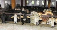 Bovine care: Now, adopt cows at government gaushala