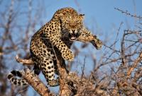 'Untrained forest staff, delayed compensation behind rise in leopard poaching'