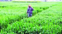 Rain brings cheer to wheat growers
