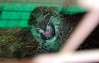 Leopard cub rescued from ATM booth
