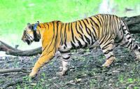 Tiger mauls woman near Ranthambhore National Park in Rajasthan