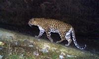 Leopard enters residential area; attacks 2; one hurt in melee