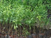 5,17,550 tree saplings to be planted under Tandarust Punjab Mission