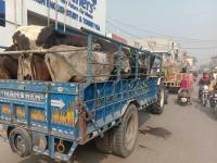 Fed up, Sangrur farmers take stray cattle to DC complex