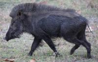 State to conduct census of wild boars