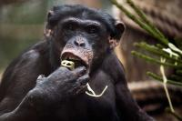 Chimp 'mini-brain' help unveil how humans got big brain