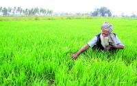 Banks pushing farmers towards arhtiyas