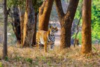 Tiger spotted in Gujarat after 3 decades, govt confirms presence