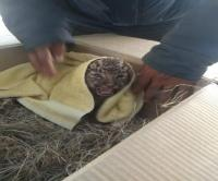3 लोगों को मार चुकी मादा तेंदुआ की तलाश कर रहा था वन विभाग, मिला 3 महीने का शावक