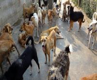 अमरजीतपुर पक्का कोठा में आवारा कुत्तों का 'आतंक'