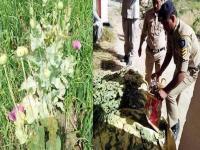 अब अफीम के पौधे को चैकिंग के लिए फोरेैंसिक लैब भेजेगी पुलिस