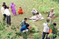 नालागढ़ में अफीम की खेती का पर्दाफाश, पुलिस ने कब्जे में लिए 2100 पौधे