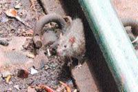 ट्रैक को खोखला कर रहे चूहे, नहीं उठाए जा रहे कारगर कदम
