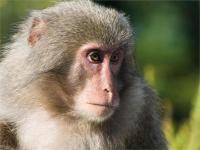 बंदरों को खदेडऩे के लिए रखे कर्मचारियों का कॉन्ट्रैक्ट खत्म, अब खुद ही करें अपनी रक्षा