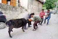 कुल्लू के बंजार में पशुओं व कुत्तों में फैला रैबीज, प्रशासन के फूल हाथ-पांव