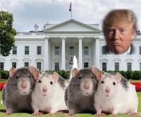 चूहों के आगे लाचार अमरीका, व्हाइट हाऊस भी परेशान