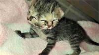 इंटरनेट संसेशन बनी दो मुंह वाली बिल्ली