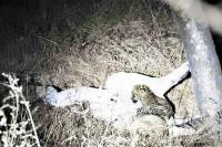तेंदुए के बच्चे को शेरनी ने पिलाया दूध, दिल छू लेगी यह तस्वीर