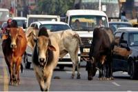 Yogi Adityanath के फरमान का असर, आवारा गायों की धरपकड़ में लगी पुलिस