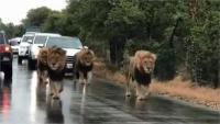 सड़क पर टहलते दिखे 4 शेर, लोगों की थम गई सांसें (देखें वीडियो)