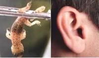 दर्द से तड़पते शख्स के कान से निकला ऐसा जानवर, उड़ गए डाक्टरों के होश