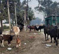 धुंध में जानलेवा साबित हो रहे हैं सड़कों पर कब्जा जमाए लावारिस पशु