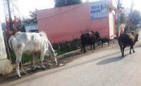 पंजाब सरकार वसूल रही काऊ सैस, फिरभी सड़कों पर घूम रहे आवारा पशु