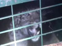 पिंजरे में कैद हुआ कुत्ते का शिकार करने आया Leopard, लोगों ने ली राहत की सांस (Video)
