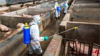 चीन में अफ्रीकी स्वाइन फीवर का प्रकोप  जारी, अब तक 10 लाख से अधिक सूअरों की मौत