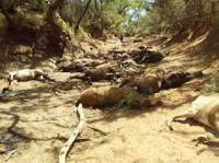 ऑस्ट्रेलिया में भीषण गर्मी से गई 90 जंगली घोड़ों की जान